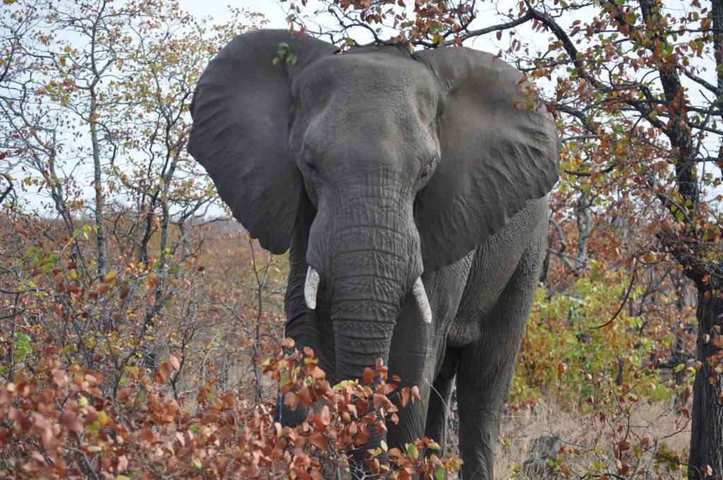 Help Protect African Elephants