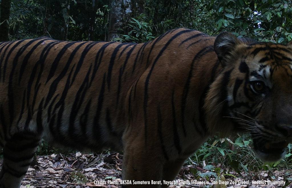 Roaring back: Remove a snare, save a tiger