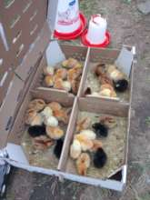 Baby chicks for income generation project