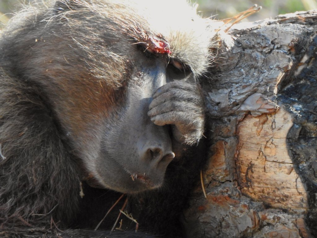 Help Baboon Matters help Baboons!