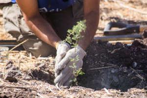 Espino, Native tree