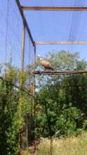 Griffon Vulture Luka, sadly did not make it to the