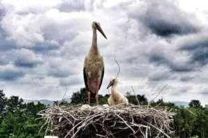 Storks on nesting platform