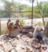 Conference time for the Hamadryas baboon
