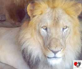 """Our Lion """"Ghazi"""" looking handsome and relaxed"""