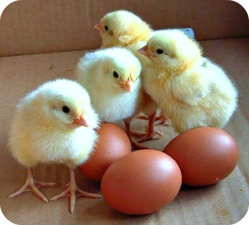 POULTRY FARMING FOR MENTOR ORPHANS AFRICA