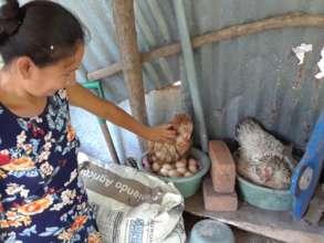 Woman checks on egg-laying hens