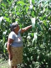 A woman checks on the progress of her corn crop
