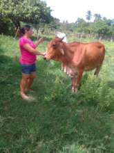 A woman takes her cow out to graze