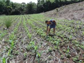 A woman checks on the progress of her corn plants