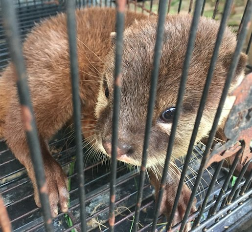 Combating otter trafficking in Vietnam