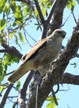 Ridgway's hawk (Buteo ridgwayi) hunting a snake.