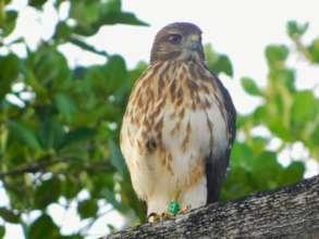 Ridgway's hawk at Puntacana 2