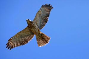 Ridgway's hawk (Buteo ridgwayi)