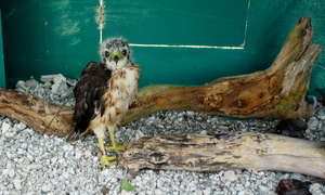 Juvenile hawk in hacking box
