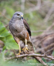 Male adult hawk