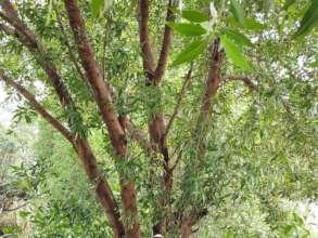 Access wood of Conocarpus Tree
