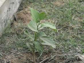 Fruit trees plantation