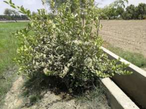 Lemon Trees plantation