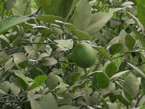Malta Citrus fruit