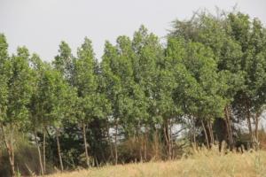 Conocarpus Trees mature now