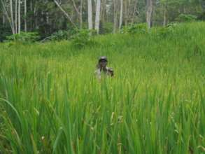 Rice Field in Bandisende