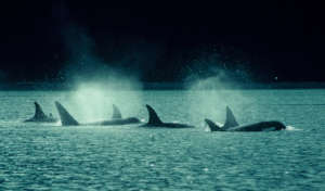 Sothern Resident Orca Pod