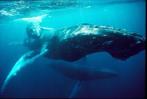 Mom, calf, and escort humpback whale
