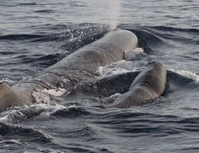 Mother and calf sperm whales