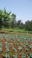 A cabbage plantation by Sanyu Ly'amaka Farmers