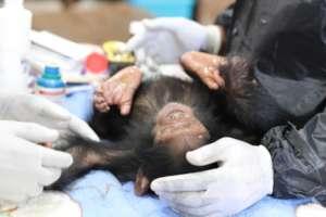 Chimp check up at Lwiro