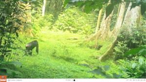 Chimpanzee documented on camera trap.