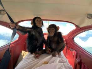 Two chimp infants being transported to Lwiro
