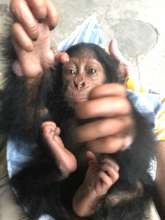 Confiscated Chimpanzee