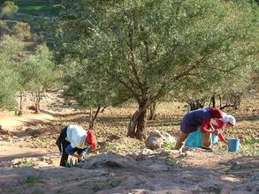 Rural Women Harvesting Olives
