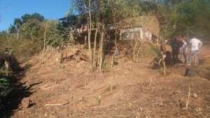 The newly planted banana trees
