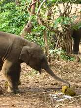 Baby Ele eating dung