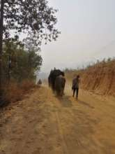 Mahouts walk their elephants home from the city