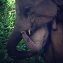 The elephants interacting