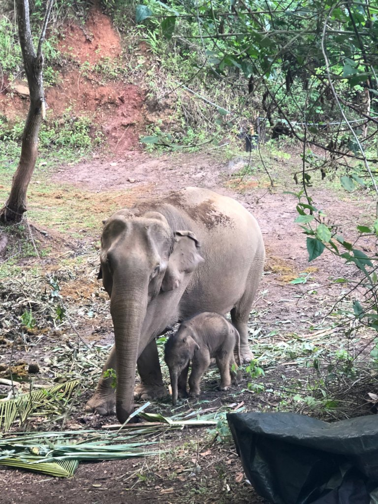 Reintegrating Elephants into Thailand's Forests