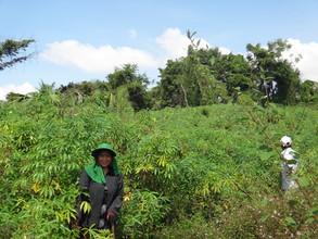 Cassava farm in the village