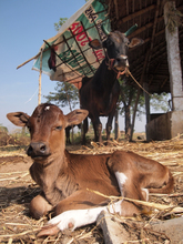 the day old calf with watchful mother.
