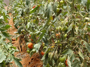 Tomatoes 2nd October
