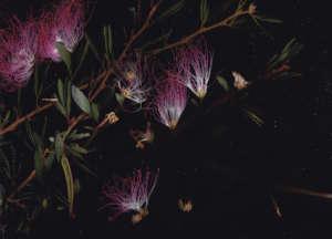 Calliandra angustifolia, a multipurpose tree
