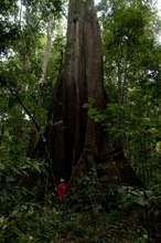the mighty Lupuna (giant kapok): Ceiba pentandra