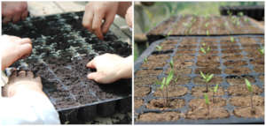 (Left) planting tomato seeds and (Right) watching