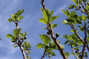Baby figs growing in the Dar Taliba garden