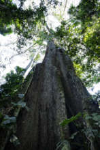 A giant kapok tree in our primary forest.