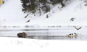 A Griz emerging in Yellowstone (credit Jim Peaco)