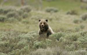Grizzly Populations Expanding in the West